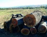 Encinas cortadas en la finca El Romeral  (Foto: ARCHIVO)