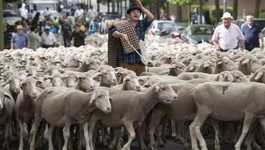 Las 600 ovejas que pasaron por Alpedrete transportan cada día 5.000 semillas