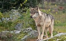 Mas ataques de lobos y buitres que dinero para indemnizar a ganaderos