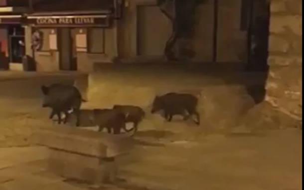 Los jabalíes se pasean de madrugada por el centro peatonal de Torrelodones