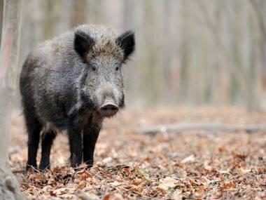 El Ayuntamiento de Torrelodones aclara su gestión sobre la camada salvaje de jabalíes abatidos