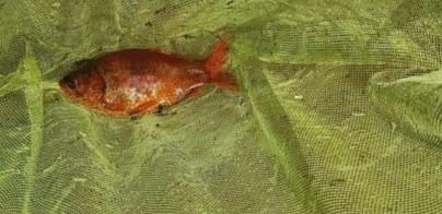 Se encuentra un pez originario de Asia oriental en una charca de la dehesa Municipal de Alpedrete