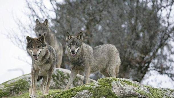¿Cuántos lobos más caben en Madrid?