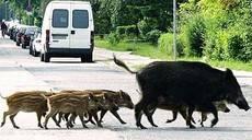 El partido animalista 'PACMA' trabaja para detener la caza de jabalíes en zonas urbanas