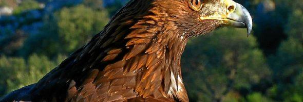 Localizada muerta tras electrocutarse un águila imperial en San Lorenzo de El Escorial
