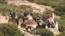 El Gurugú amplía su oferta con un pequeño rebaño de cabras autóctonas en Guadarrama