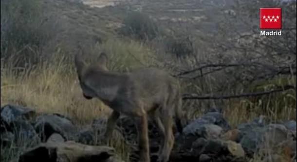 Los ganaderos, desesperados por el miedo del ataque del lobo en la Sierra madrileña