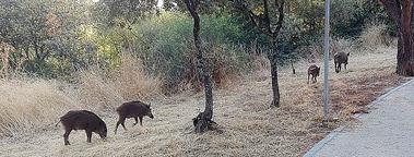 En seis meses, según el Ayuntamiento, Collado Villalba ha reducido drásticamente el número de jabalíes